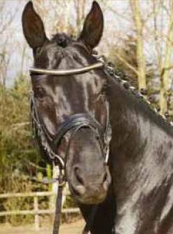 ehemalige-erfolgspferde-dark-desire